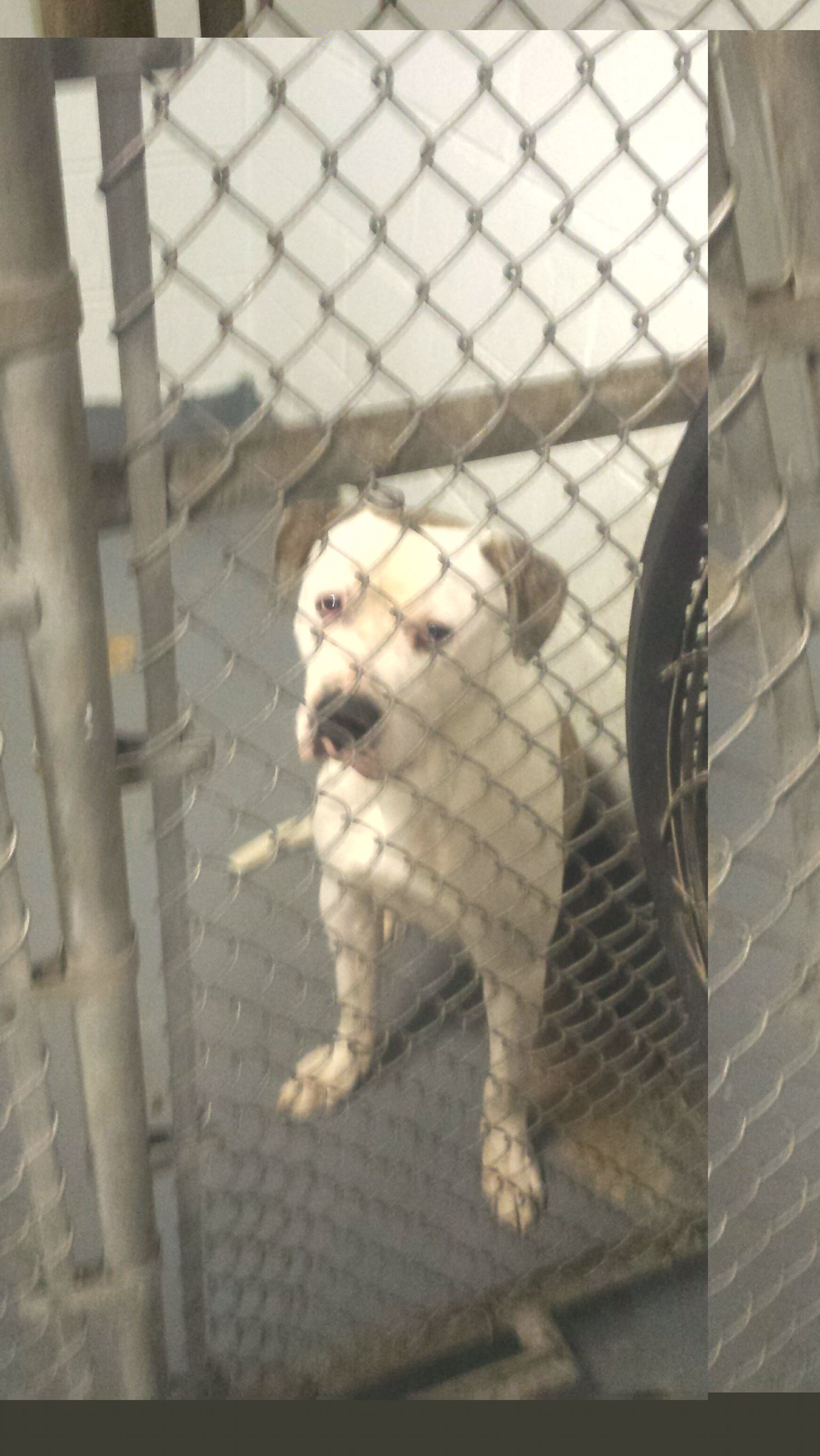 A white and grey brindle patterned male Staffordshire Terrier in a chain link kennel